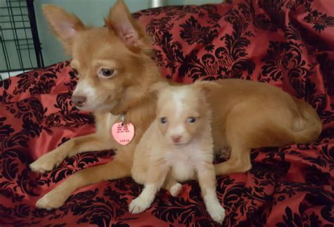 Dog for Adoption – Sandy the Long Haired Chihuahua, near